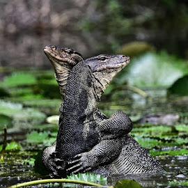 Malayan water monitor lizard  by Lim Wee - Animals Reptiles