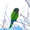 Orange fronted Parakeet