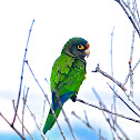 Orange fronted Parakeet