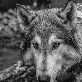 Yukon by Garry Chisholm - Black & White Animals ( wolf, mammal, canine, dog, garry chisholm, ranua, finland )