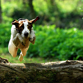 So high by Runa Nightsongwoods - Animals - Dogs Playing ( forrest, wood, jumping, green, summer, pointer, dog, running,  )