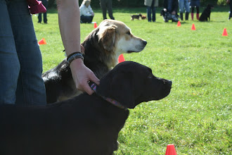 Photo: Gretl Golden X and Maggie Lab X