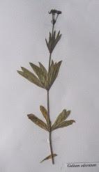 Marzanka wonna okaz zielnikowy Galium odoratum