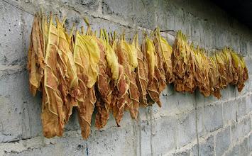 Photo: Schnące liście tytoniu