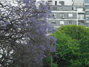 Photo: Beautiful blooming Jacaranda tree. They are all over Buenos Aires. It's even more beautiful when the blooms fall and the park grounds become a sea of purple.