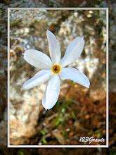 Photo: Narcisse d'automne, Narcissus serotinus