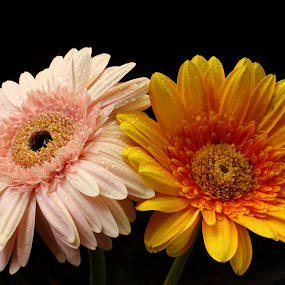 Beauty of Contras by Benyamin Kristiawan - Nature Up Close Flowers - 2011-2013 ( contras, flower, gerberra,  )