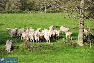 Photo: Les Charolaises sont curieuses. Photo PB