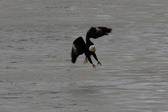 Photo: Bald eagle, ready to strike