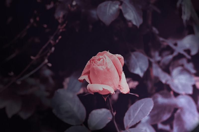 Petali Rosa di Tomassetti Sara