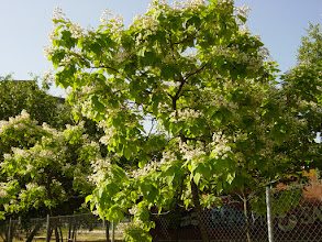 Photo: Catalpa florido