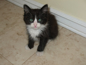 Photo: Thor is the last kitty that needs to be adopted.  Do you want a little kitty with a big heart?