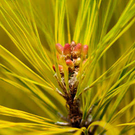 New Growth by Jennifer  Loper  - Nature Up Close Leaves & Grasses ( red, needles, green, pine, tree, buds )