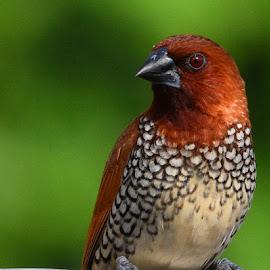 munia by Sanjiv Khanna - Animals Birds ( nature, save_birds, love-birds, birds, save_earth )