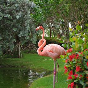 Pink Flamingos by Brian Lord - Animals Birds ( nature, wildlife, pink flamingo, dominican republic, punta cana, birds,  )