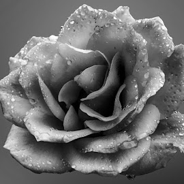 Rose by Abdul Rehman - Black & White Flowers & Plants ( beautful, natural light, nature, natural, mother nature )
