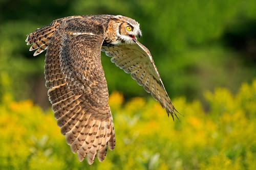 Outta My Way!! by Peter K. Burian - Animals Birds ( bird, flying, flight, wings, owl, raptor, great horned owl,  )