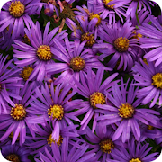 App Icon for Asteraceae App in Czech Republic Google Play Store