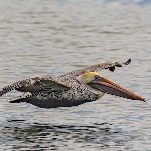 pelican-81.jpg