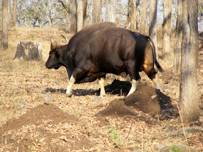 Photo: This is the largest bovine creature in the world