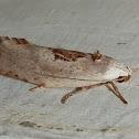 Xyloryctine Moth