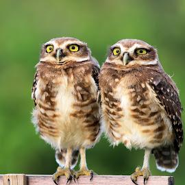 twin ! by Itamar Campos - Animals Birds (  )