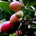 Carandas plum