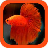 Siamese Fighting Fish Guide