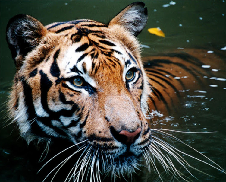 A tiger cools off