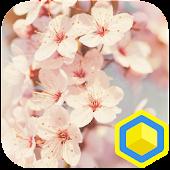 Cherry Blossoms - 카카오홈 테마