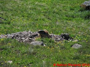 Photo: Ric_IMG_3433 Marmotta della Val di Cedec