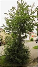 Photo: Corcodusi (Prunus cerasifera)  - din Turda - Str. Mihai Eminescu - 2019.05.20