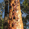 Red Gum (with resin)