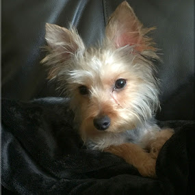 Paris by Janice Burnett - Animals - Dogs Portraits ( yorkshire terrier, pet, casual, gray & tan, miniature )