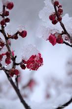 Photo: 今年は大阪市中央部でも3年ぶりに4cmの積雪を記録したこともあり、(鹿児島紅、2014,02,14)