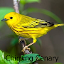 Chirping Canary APK icon