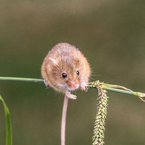 Harvest mouse by Garry Chisholm - Animals Other Mammals ( mice, garry chisholm, mouse, nature, british wildlife, harvest )