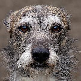Jake by Chrissie Barrow - Animals - Dogs Portraits ( mouth, pet, male, fur, grey, rough, dog, nose, lurcher, portrait, eyes,  )
