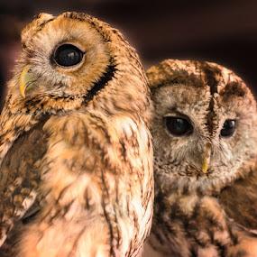 Two Hoots by Rory McDonald - Animals Birds ( birds of prey, birds, owls )