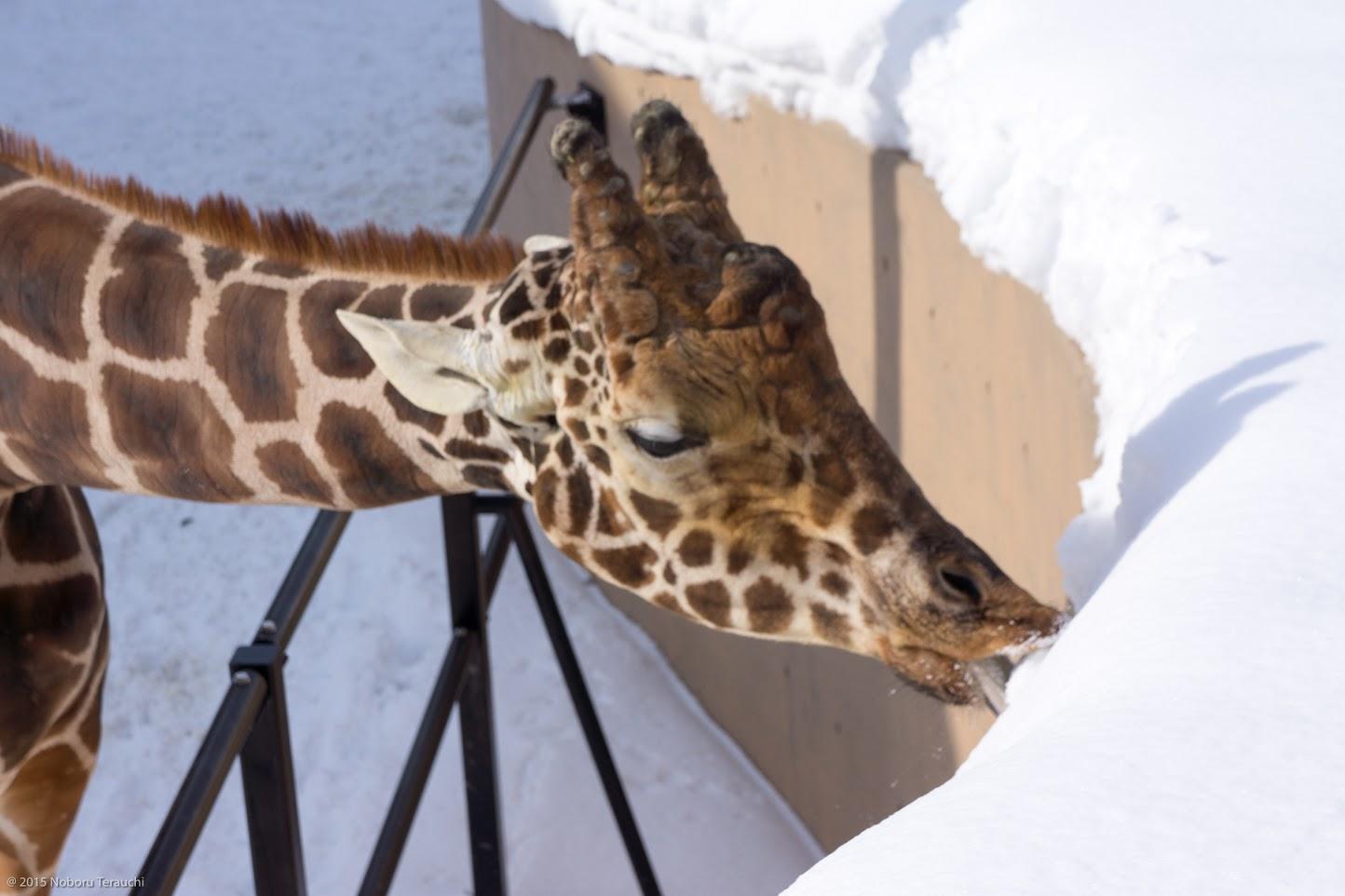 冷たい雪をペロ〜リ