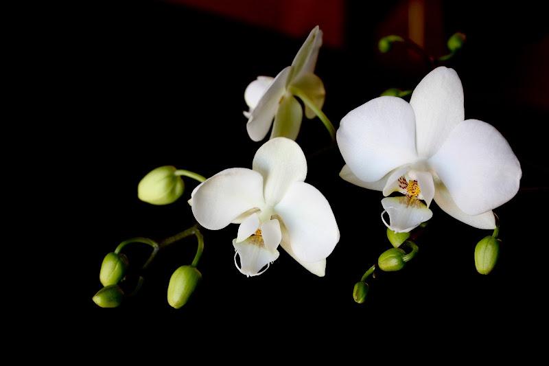 Orchidea di Arianna Marini