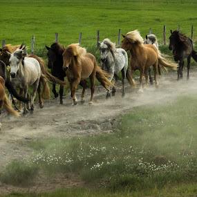 GO by Jean-Marc Landry - Animals Horses ( islande,  )