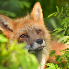 Red fox by Kristin Smestad - Animals Other ( fox, red, vulpes, norway, animal,  )