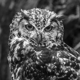 Owl by Garry Chisholm - Black & White Animals ( raptor, bird of prey, nature, eagle owl, garry chisholm )