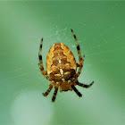 European garden spider (male)