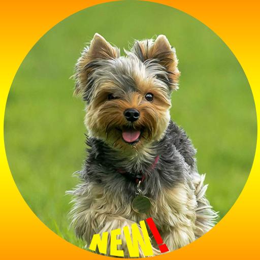Fond D Ecran De Chien Yorkshire Terrier Hd Applications