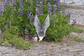 Photo: Arctic tern feeding its chick near Mendenhall glacier