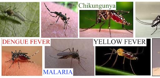Image result for dengu nil