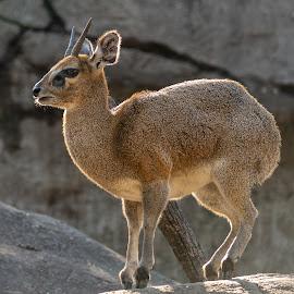 dik dik by Bert Templeton - Animals Other Mammals ( africa, dik dik, antelope, animal, texas, brown, fort worth, furry, bert templeton,  )