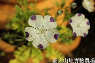 Photo: 拍攝地點: 梅峰-溫帶花卉區 拍攝植物: 粉蝶花 拍攝日期:2013_01_07_FY